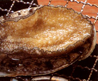 Photograph:Steak of abalone
